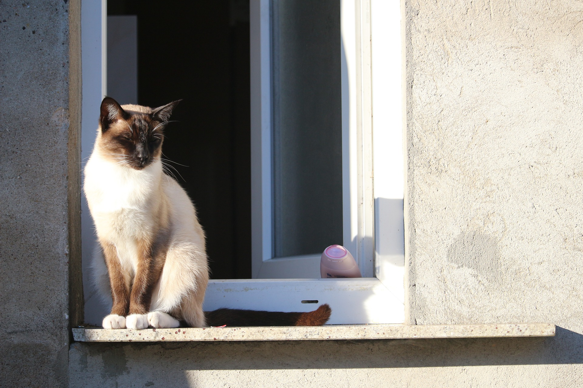 siamese-cat-965285_1920
